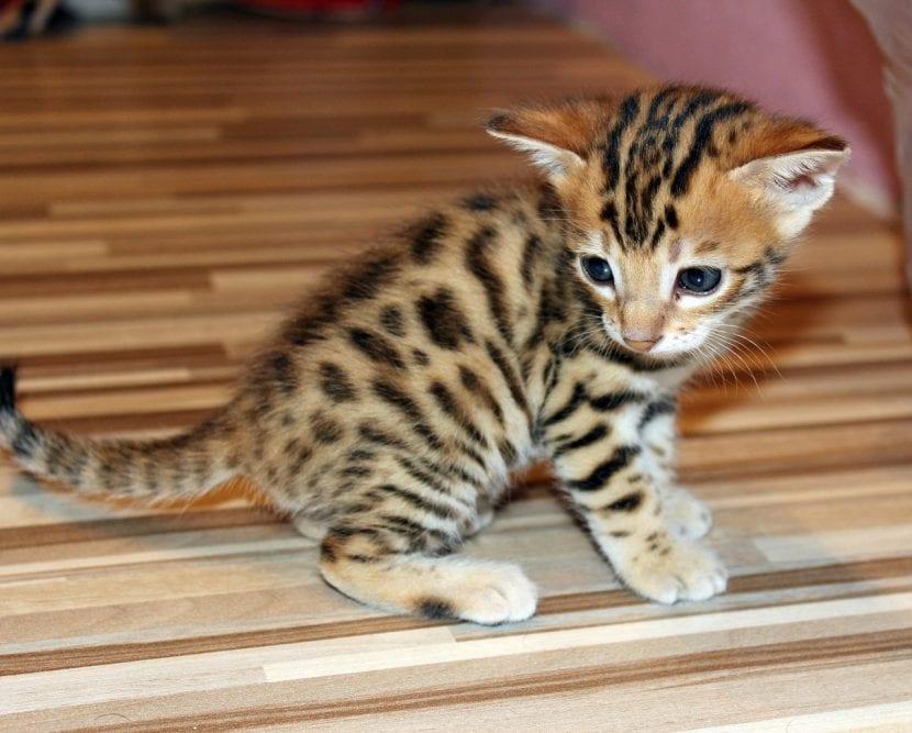 Un adorable gatito de bengala