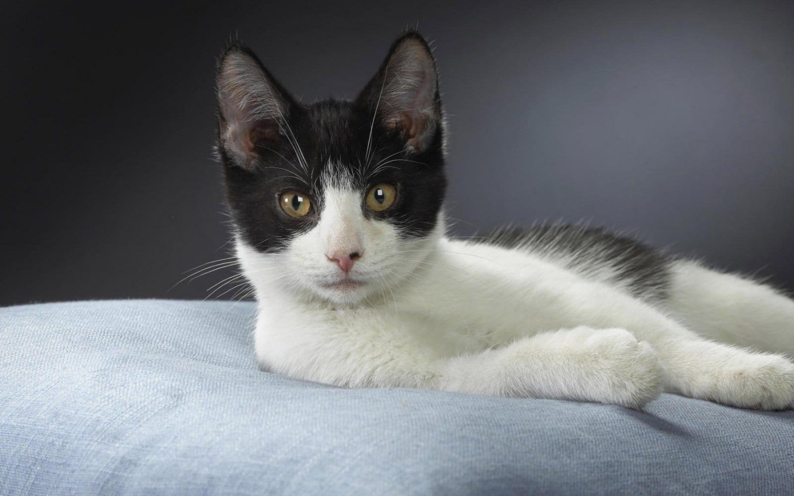 Gato American Wirehair