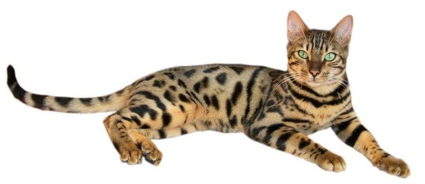 Un gato de bengala de color marrón