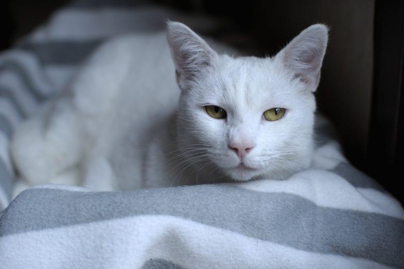 Gato blanco viejo