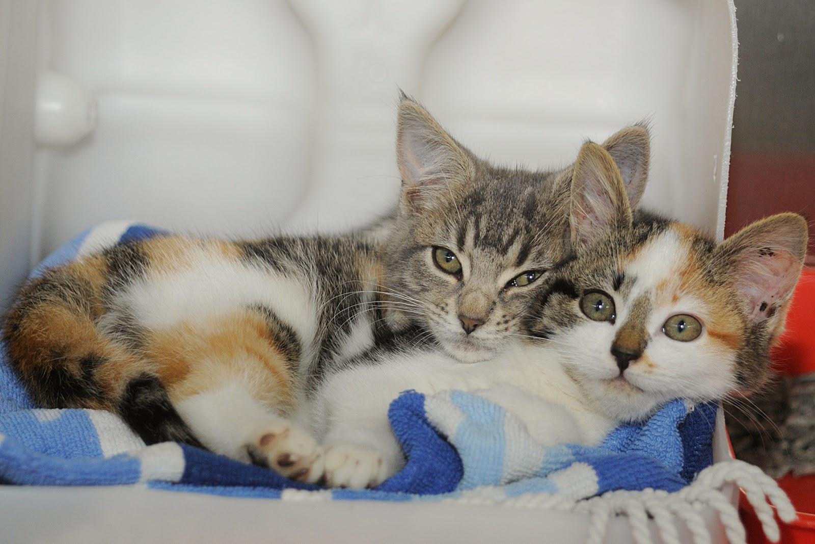 Los gatos en celo pueden tener descendencia