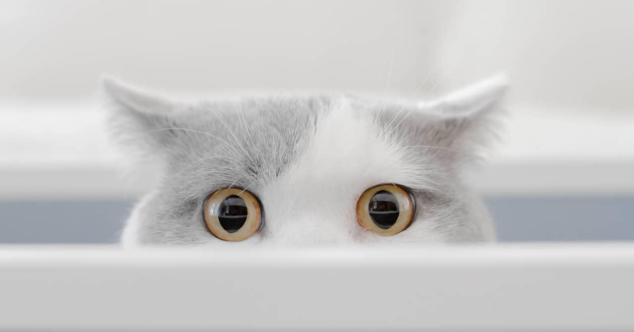 Las gatas entran en celo a los cinco o seis meses normalmente