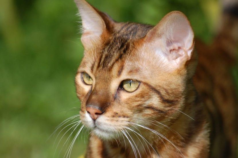 Gato de bengala adulto