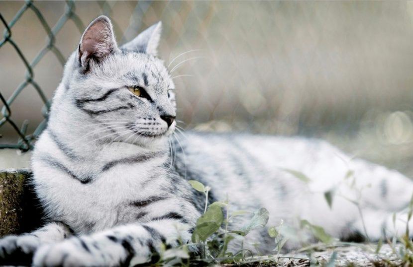 Gato de bengala blanco tomando el sol.