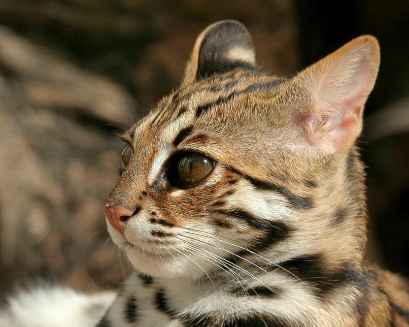 Gato leopardo joven