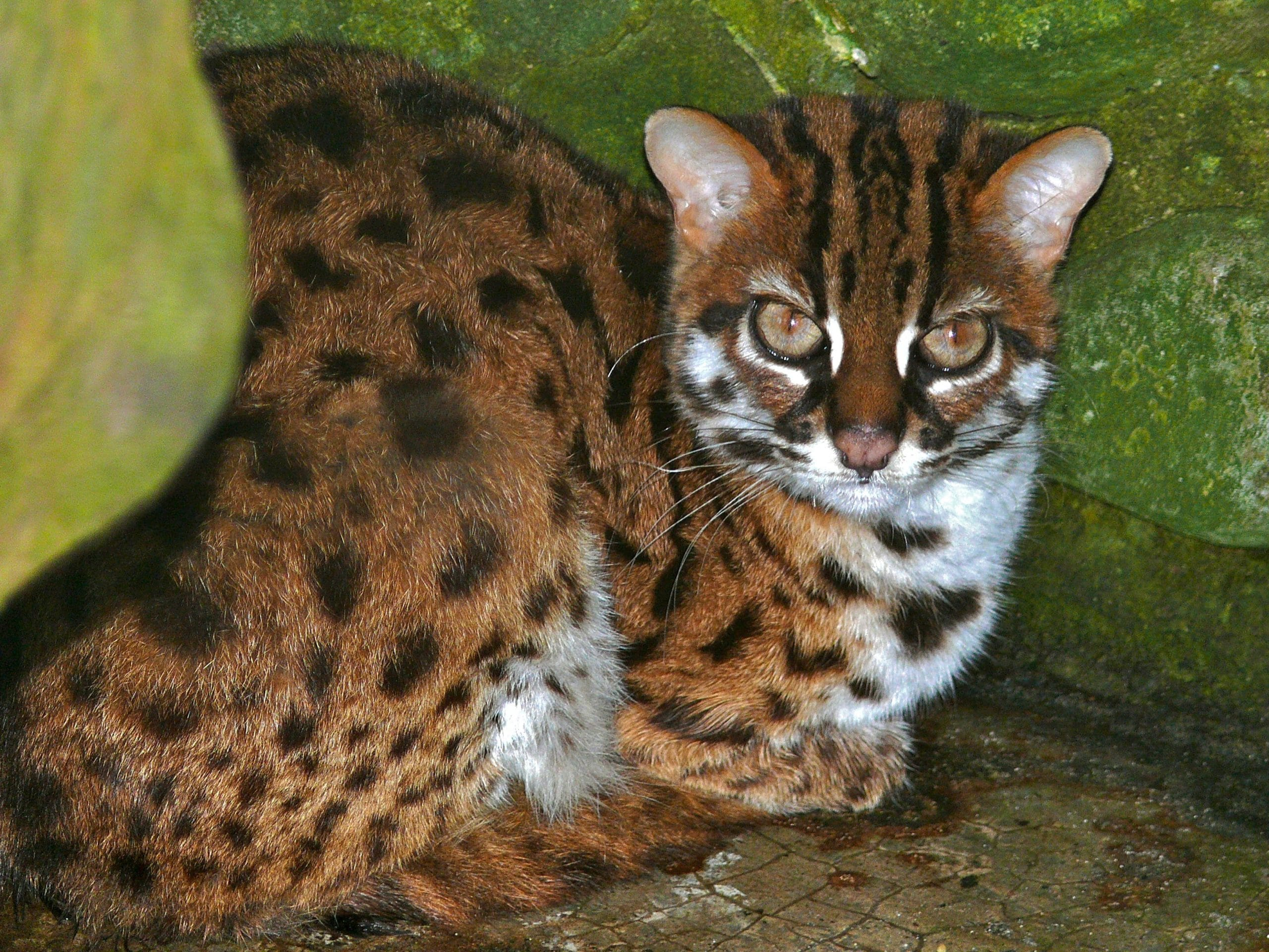 Gatos leopardo - Chat type leopard ...