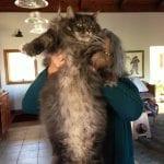 Gato más grande del mundo