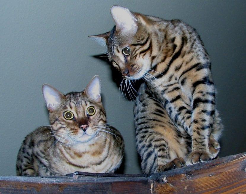 Dos gatos de bengala adultos