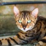 La mirada del gato de bengala