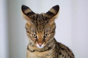 Mirada del gato Savanaah