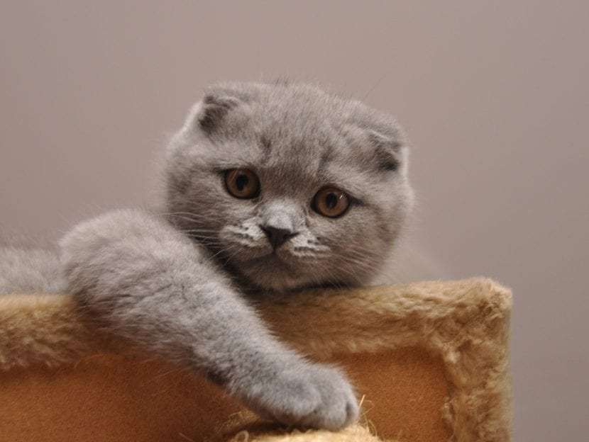 Gatito Scottish Fold