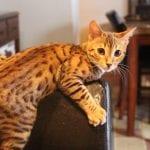 Gatito joven de la raza savannah