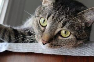 Gato atigrado en un piso
