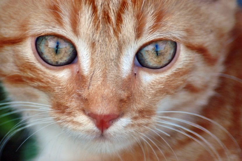 Gato atigrado naranja joven