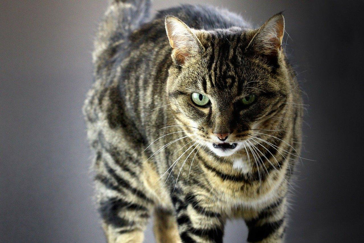 Los gatos pueden sentir asfixia