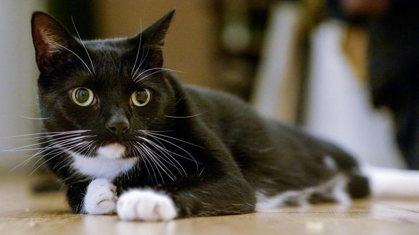 Gato blanco y negro tumbado en el suelo