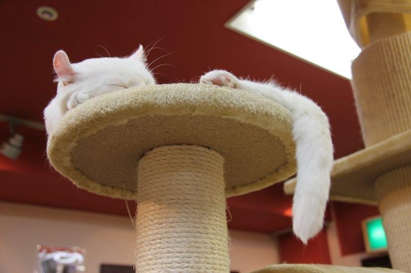 Gato en café de gatos