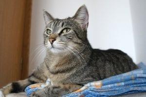 Gato gris en su cama