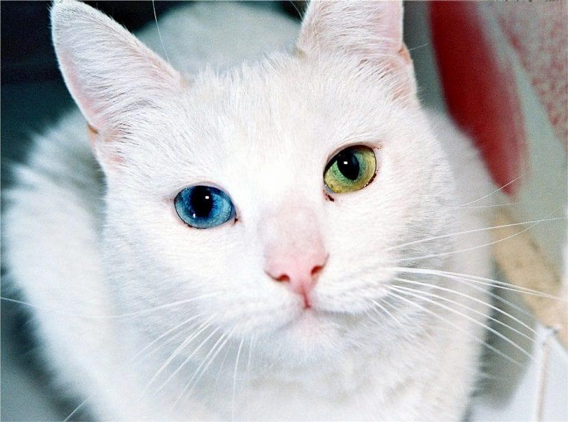Gato adulto de la raza Khao Manee