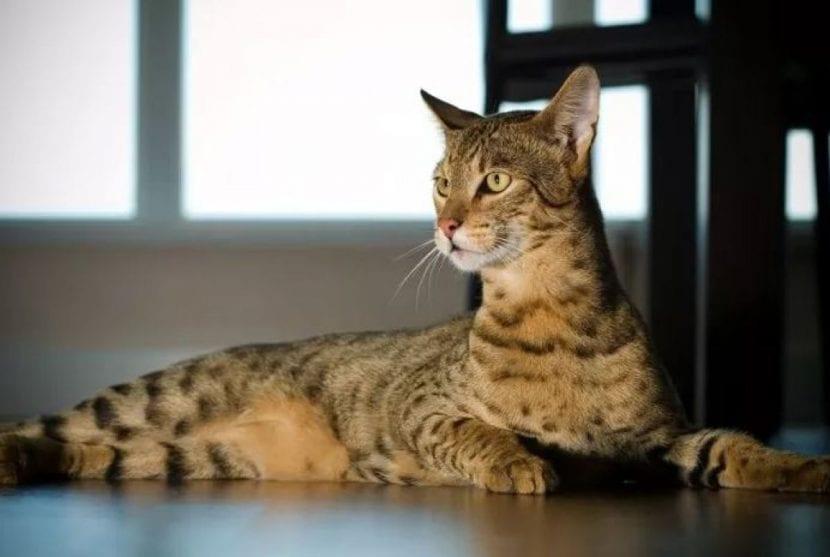 Gato savannah tumbado