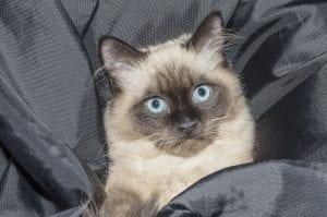 Gato siamés de ojos azules