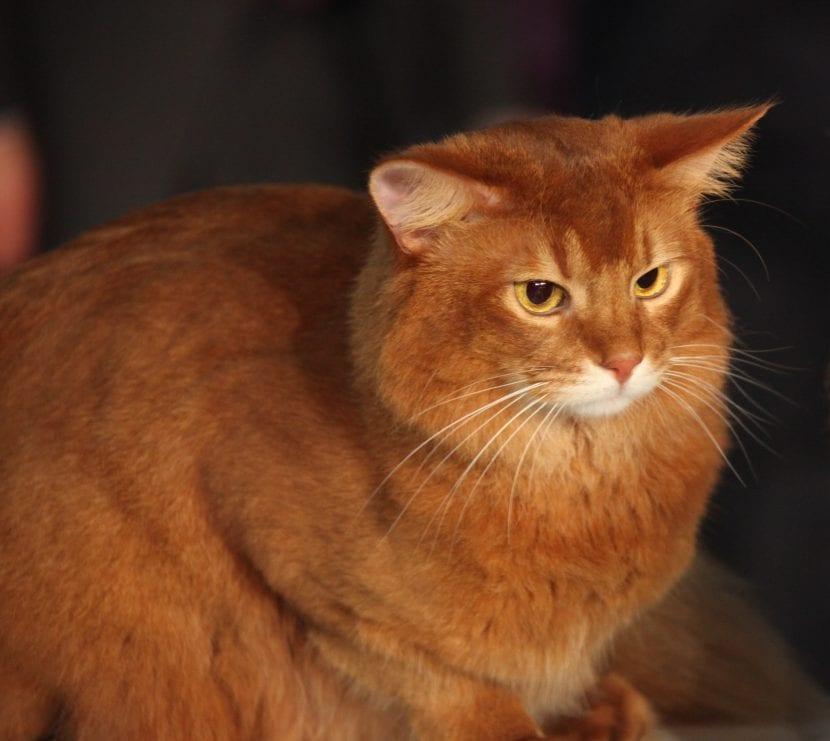 Gato somalí naranja adulto