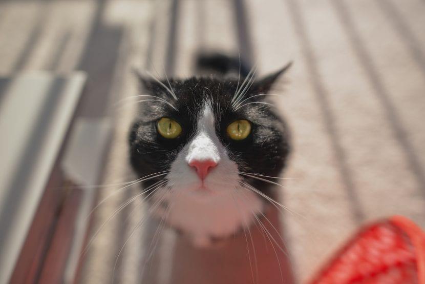 Gato tuxedo curioso