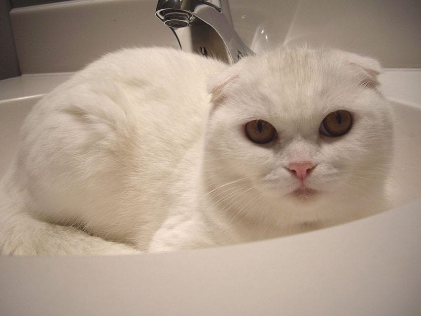Gato blanco de la raza Scottish Fold