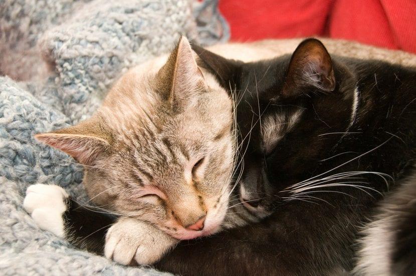 Dos gatos dormidos; es muy posible tenerlos
