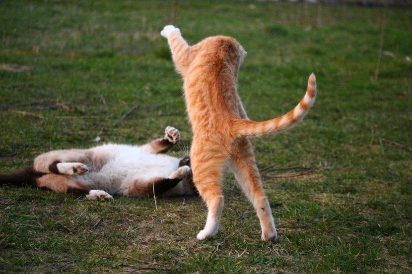 Dos gatos jugando