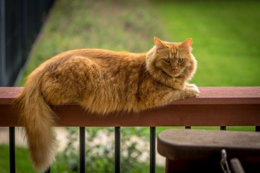 Gato maine coon descansando