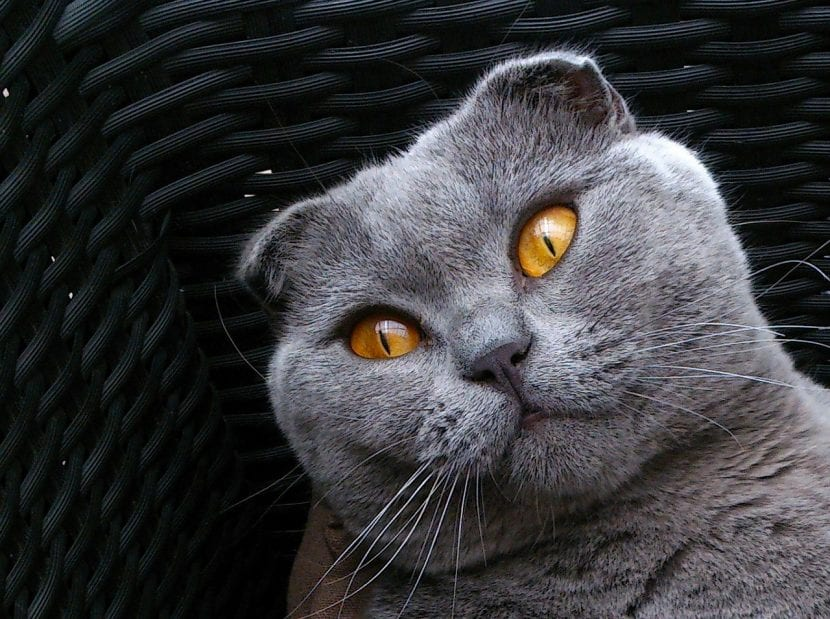Gato de la raza Scottish Fold