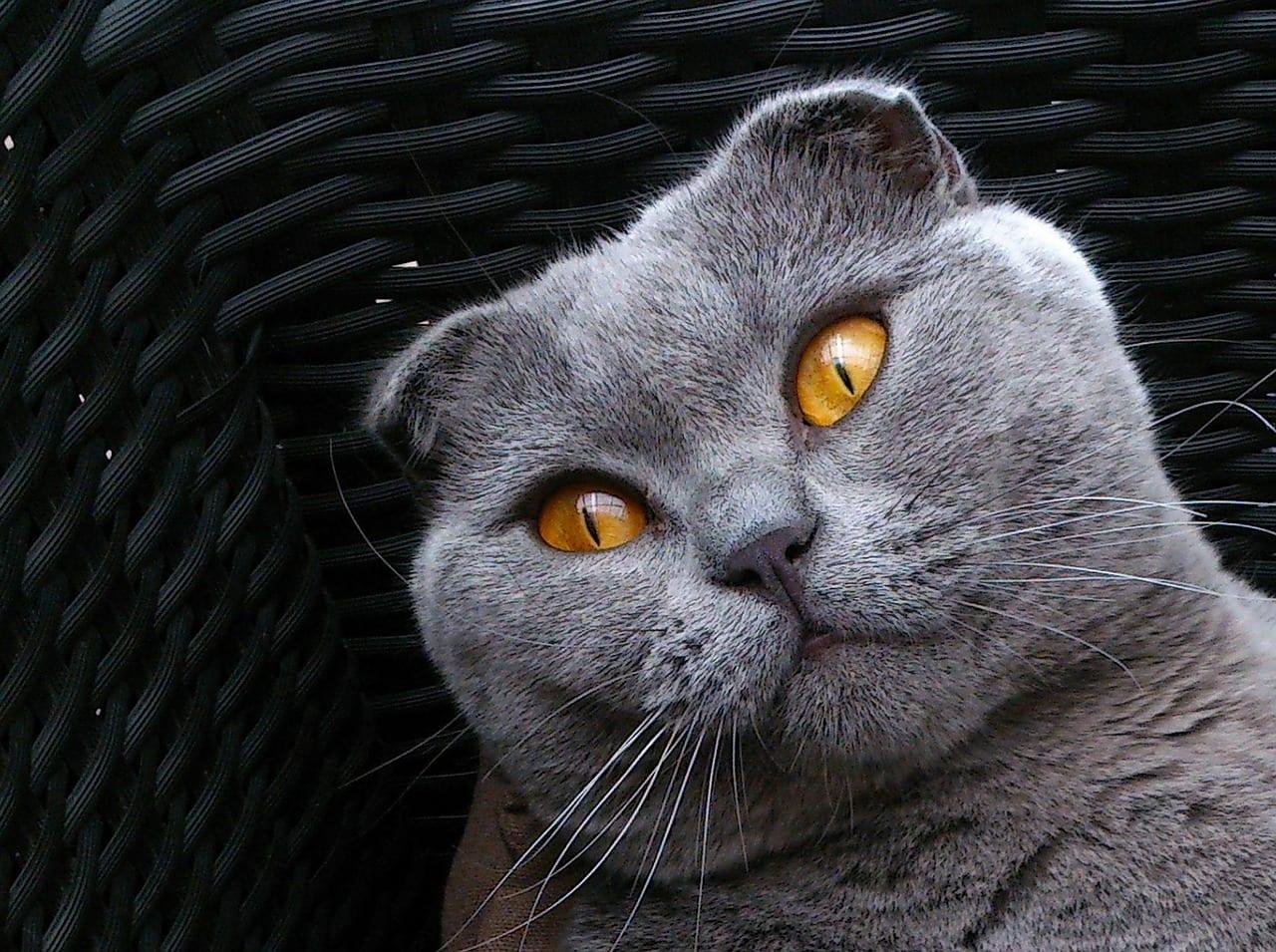 Gato de la raza Scottish Fold