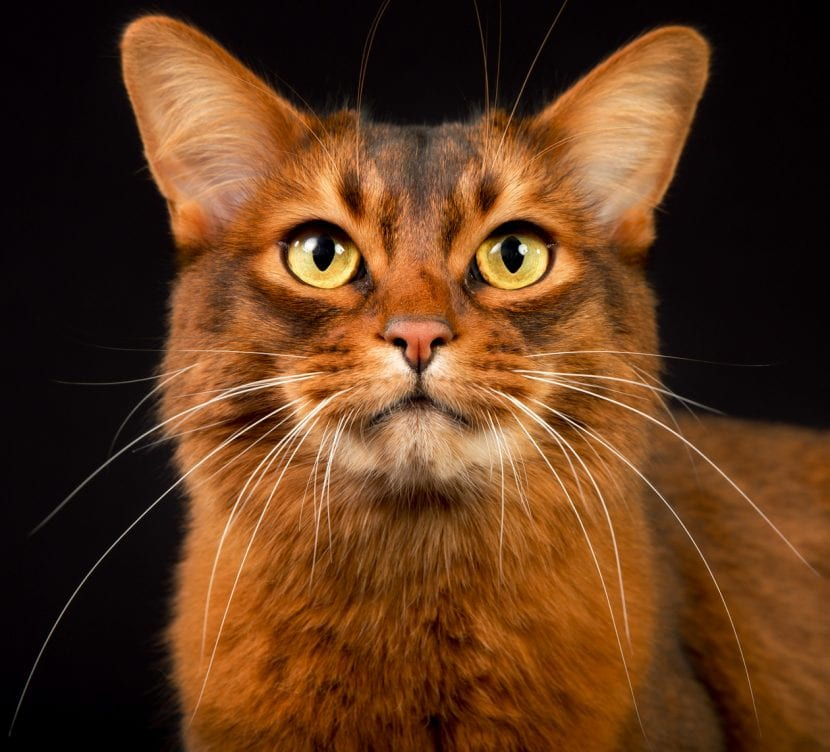 Gato somalí adulto
