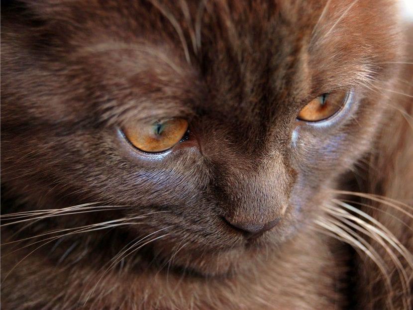 Cara de gato York chocolate