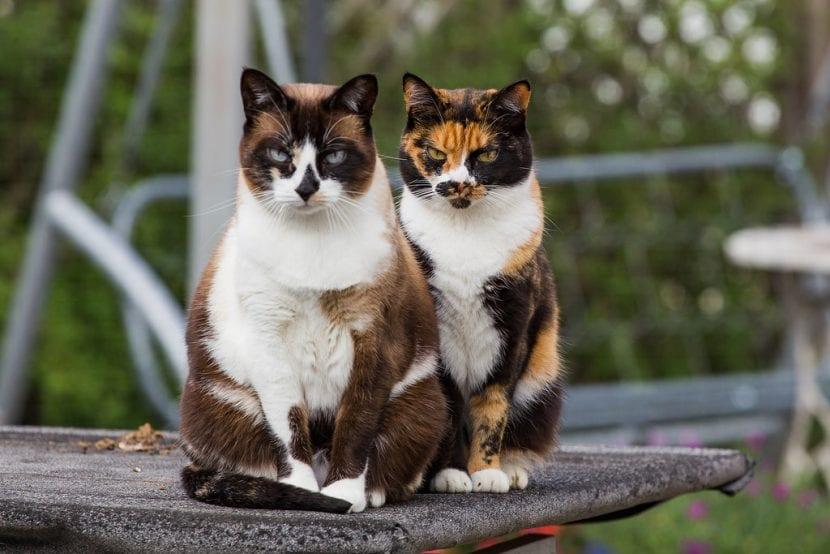 Dos gatas tricolores en la calle