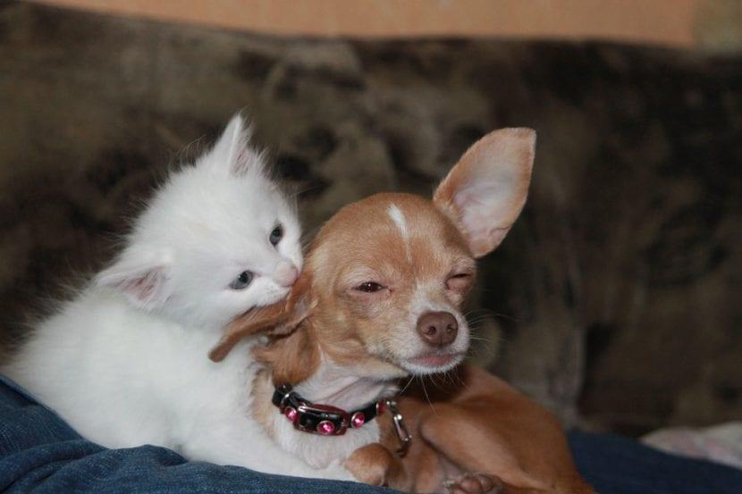 Gatito blanco con perro