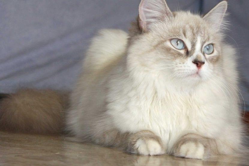 Gato adulto de la raza Neva Masquerade