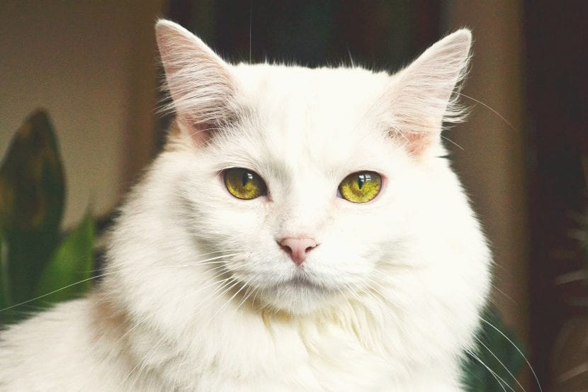 Gato adulto de color blanco