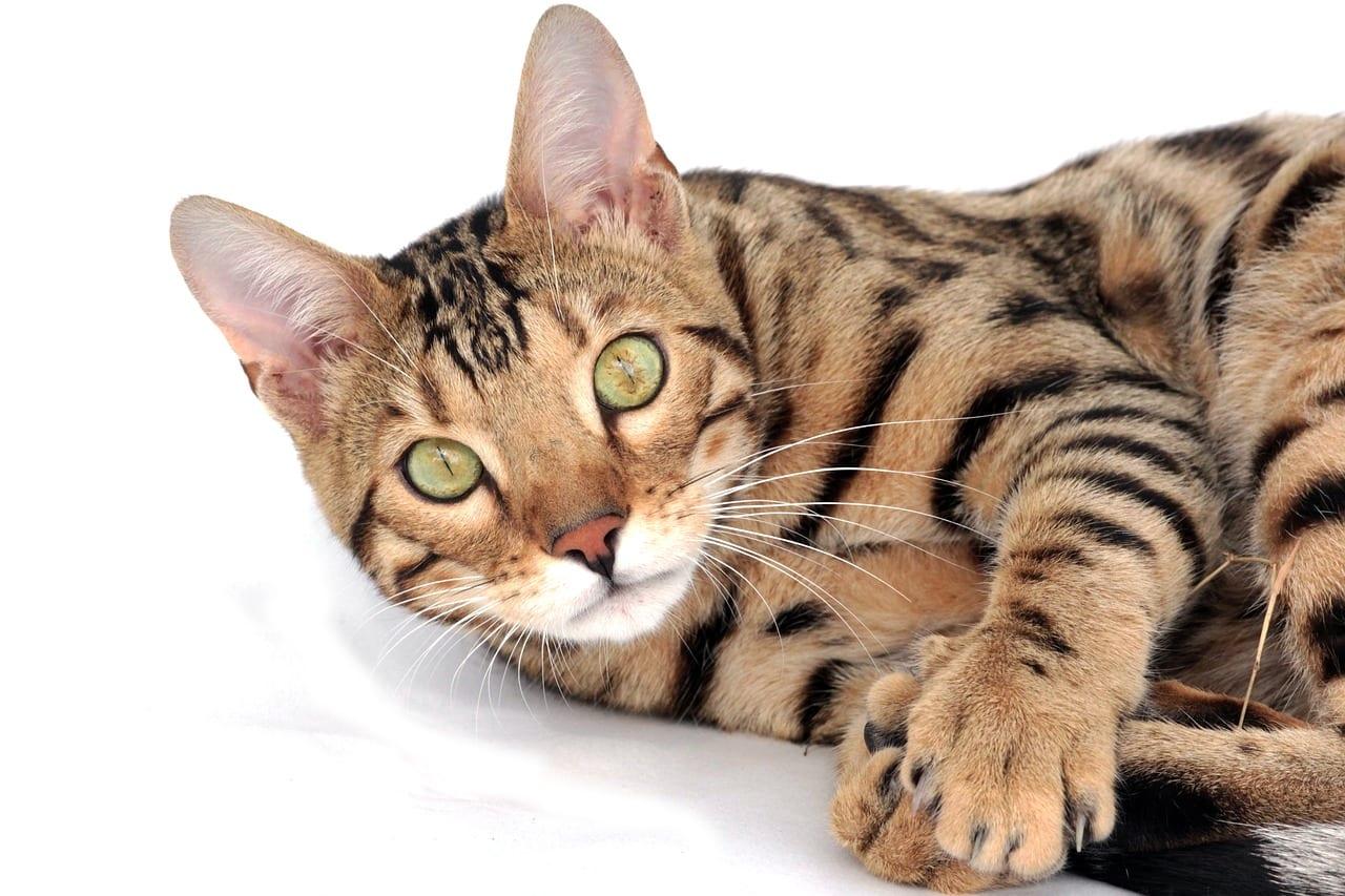 Gato adulto de la raza bengala