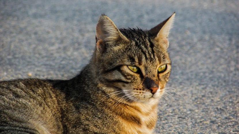 Gato atigrado callejero