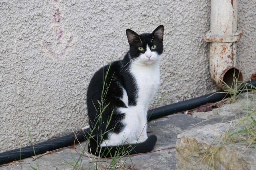 Gato bicolor callejero