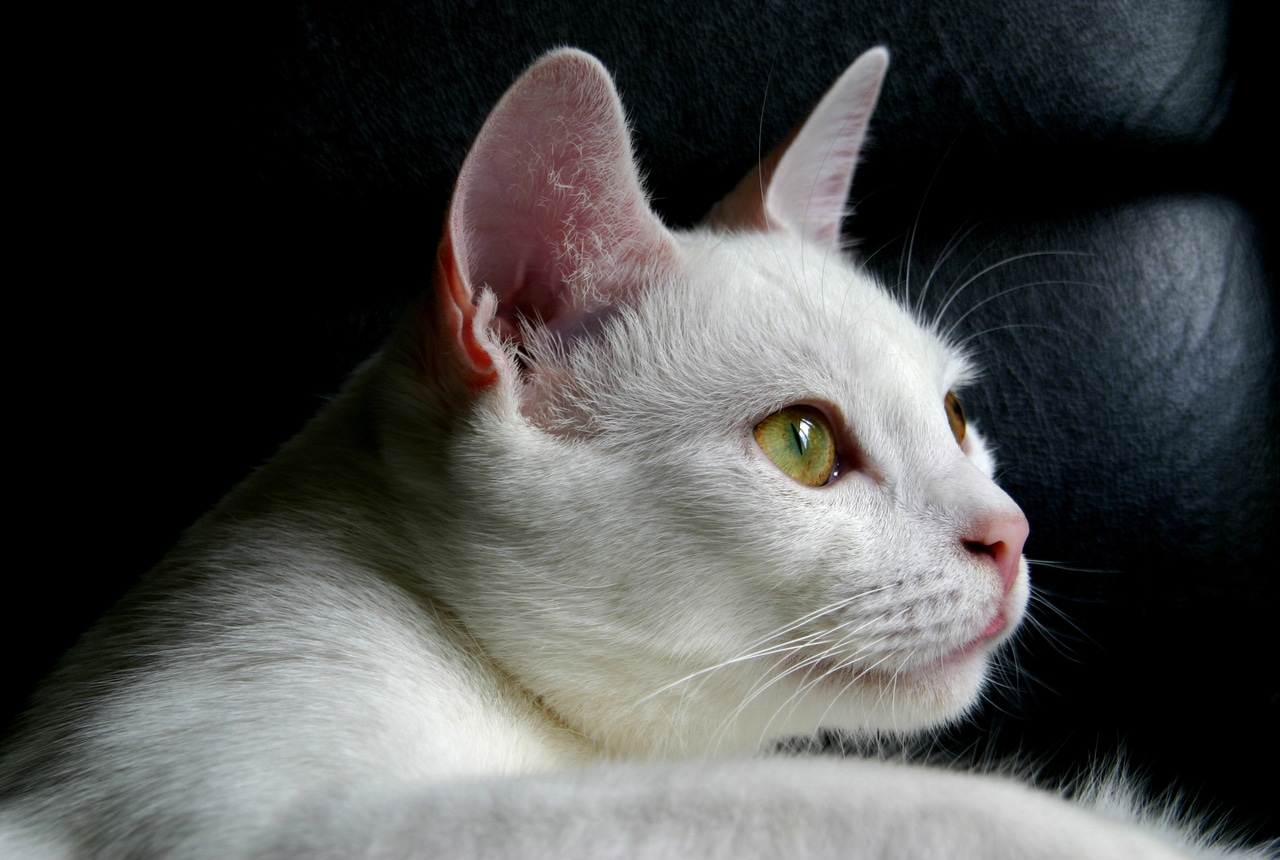 Gato blanco joven