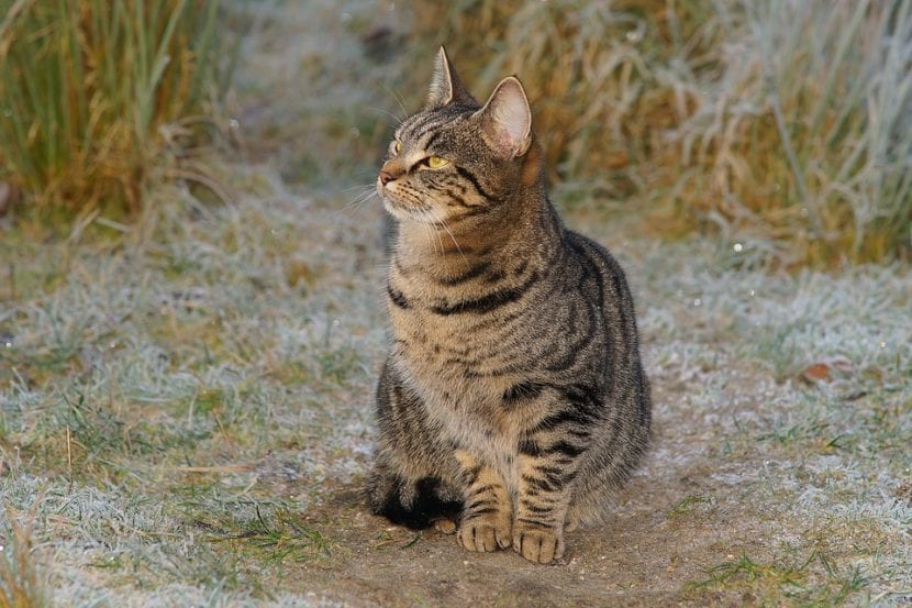 Gato callejero atigrado