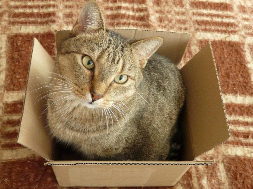 Gato adulto en una caja