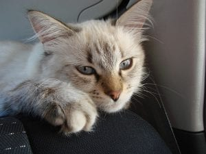 Gato joven de la raza Neva Masquerade