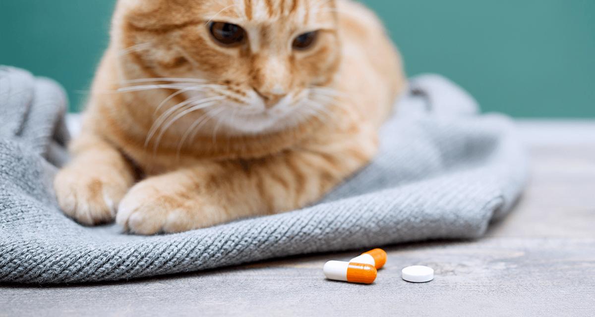 Gato mirando pastillas que no debe tomar