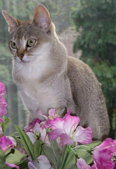 Gato adulto de la raza singapura