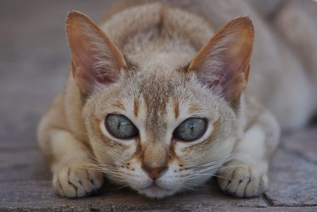 Gato singapura tumbado