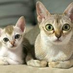 Gatos de la raza Singapura